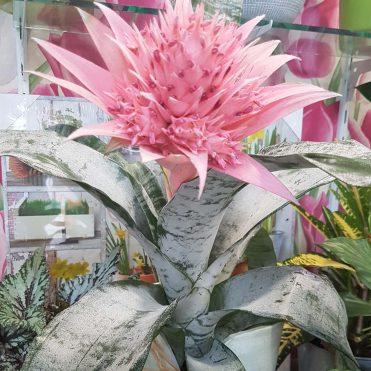 Floristería Rosa Rosam - Aechmea en maceta