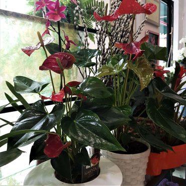 Floristería Rosa Rosam - Anturio rojo en maceta